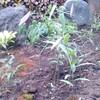 ササユリ開花中
