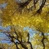 黄金色の銀杏並木。