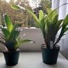 ホヘンベルギア2か月の成長。