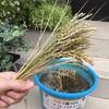 バケツ稲、ついに稲刈り!