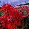 赤い花の誘惑