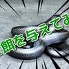 餌食い抜群のヘビたち!メキシカンブラックキングスネーク、アルビノアオダイショウなど