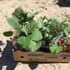 苗もの定植と種蒔き その1
