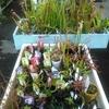 食虫植物好評販売中です