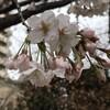 銀座1丁目の桜