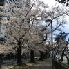 外堀の桜を見ながらお散歩しました