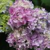 卯辰山で紫陽花の写真(後編)