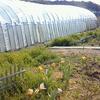 草原ポタジェ化計画 ~球根植物は強いなと思うのです~
