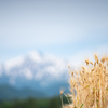 むぎのときいたる(麦秋至):麦の秋と雪の残る山