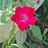 マリアンデールまた、咲きました。懐かしの鳥 手賀沼遊歩道のウグイス