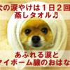 犬の涙やけは一日二回の蒸しタオル、あふれる涙とマイボーム腺のお話