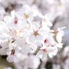 桜を撮影してきた