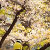 Snapshot@桜の風景#3