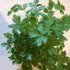 苔玉ちゃんピンチ!でも水耕栽培はぐんぐん育ってます。