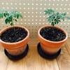 【スパイス栽培記vol.3】春は「成長」の季節/カレーリーフが元気に育ってきた!