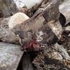 ケヤキに木耳が 木耳とナメコを収穫 Kikurage in Zelkova