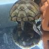 トウブドロガメ、'18子亀の成長11。雌雄判明?