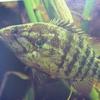 【オヤニラミ】俺の好きな日本の魚の紹介!この渋さがたまらない!