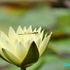 睡蓮の池を訪れる生物たち ― フラリエ#3 ―
