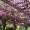 ご近所で 春の花々 愛でてきた