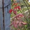 バラの芽の伸長