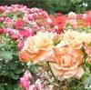 ダイアナ妃に美智子様…今見頃の京都府立植物園のバラ35種類を紹介