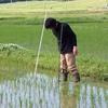 稲の生育調査