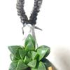 アイベックス山羊鉢 X「濃緑レツーサ」