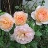 「まつこの庭」の真夏のバラ