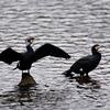 再び、散歩して出会える鳥(例外有)たちを紹介:カワウ、カルガモ、ムクドリなど