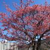 丸山公園の土肥桜