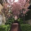 石切駅周辺の桜を鑑賞してきました・その2