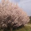 【福島花見】1日で桜が満開になったからあわててお花見してきました。すごいきれいでした!