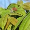 オニグルミの雌花、咲き初めぬ。ニセアカシアも・・・