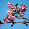 木場公園の河津桜が咲きました  メジロも来ました