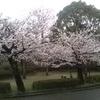 八代城跡 桜がかなり開きました。