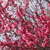 いわき市湯本 梅林寺の梅を見てきました