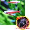【お買い得セット】 カージナルテトラ6匹とカバクチカノコ貝1匹のセット