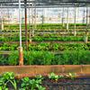 営農しながら売電収入!ソーラーシェアリングに適している作物って?
