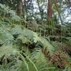 ゼンマイはどれ? 水に浸かって Which is the Osmunda japonica?