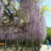 神社巡り★藤の花