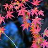 緩くすすむ冬景色  ~冬鳥たちと紅葉~      野鳥撮影《第105回目》
