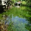 【写真加工】梅花藻を増やす