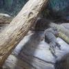 天王寺動物園 ミズオオトカゲ