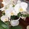 胡蝶蘭が咲きました(3)