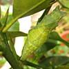 ナミアゲハの終齢幼虫が蛹に変身!