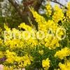 樹木医師の黄色の花が魅力的な庭木