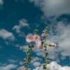 空に伸びる立葵