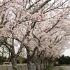満開の桜&春の草花たち