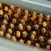 【多肉植物】ギムノカリキウム 海王丸さんの実生 5ヶ月が経過